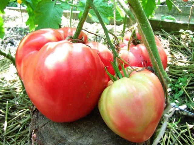 Китайский розовый: описание сорта томата, характеристики помидоров