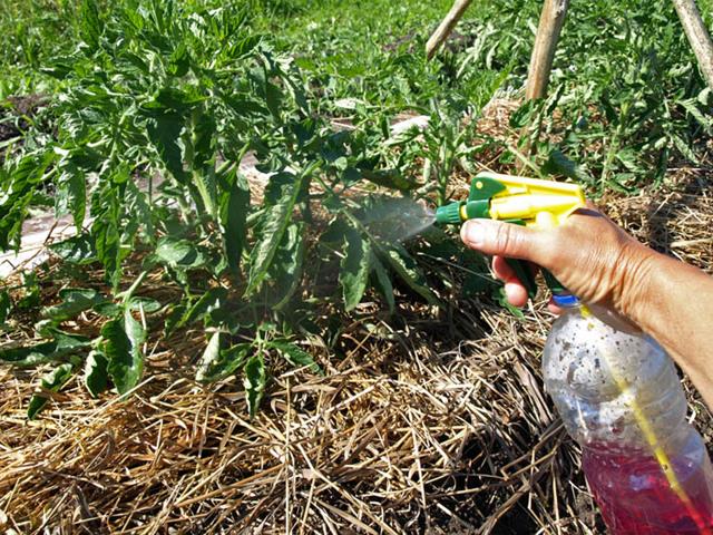 Клюква в сахаре: описание сорта томата, характеристики помидоров, посев
