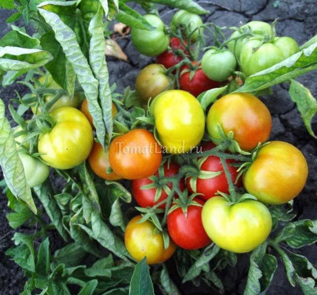 Бони М: описание сорта томата, характеристики помидоров, посев