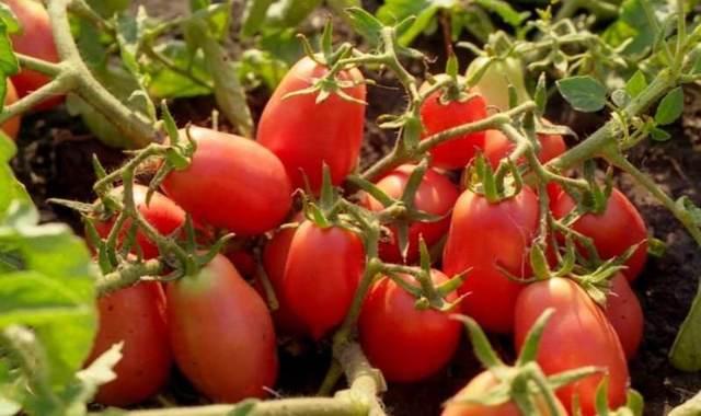 Рио Гранде: описание сорта томата, характеристики помидоров, посев