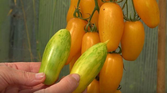 Банановые ноги: описание сорта томата, характеристики помидоров, посев