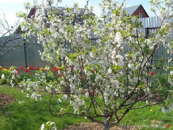 О Любской вишне: описание и характеристики сорта, уход и выращивание
