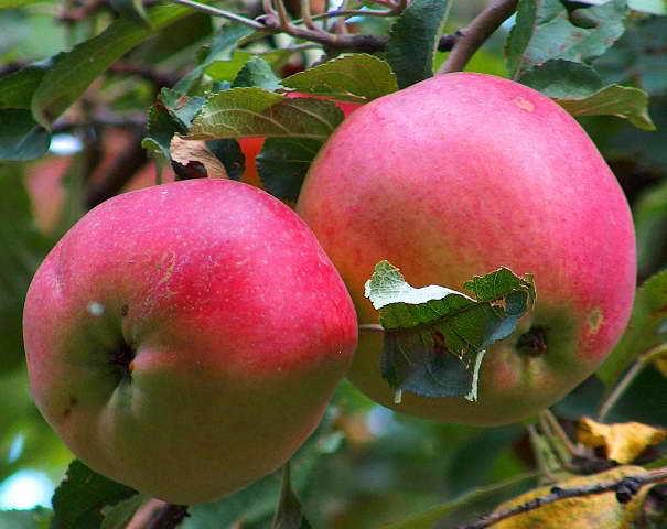 О яблоне Апорт: описание сорта, характеристики, агротехника, выращивание