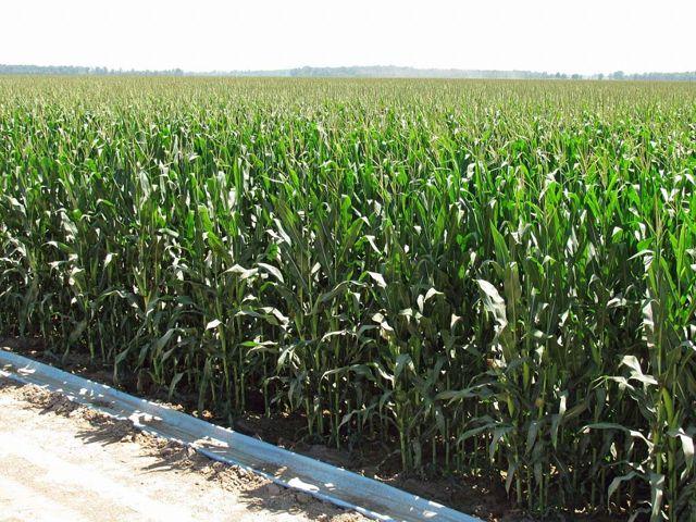 О возделывании кукурузы на силос: норма высева, технология, урожайность сортов