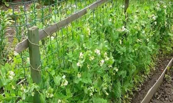 Как правильно посадить горох в открытый грунт: время посева, уход за культурой