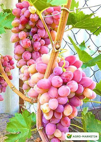 Описание сорта винограда Восторг, сравнение белого, красного и розового сортов